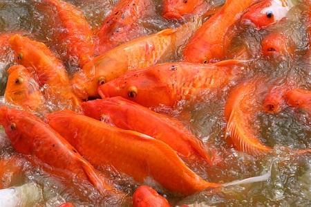 Aquaris Koifutter in beliebten Varianten